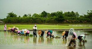ترخیص برنج